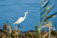 A  white Snowy Egret with black legs and yellow feet.